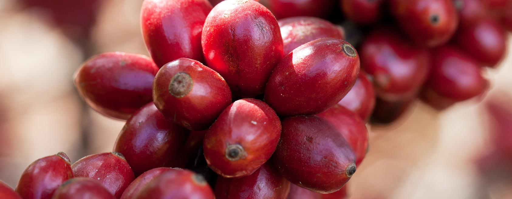 Kaffee des Monats August: Äthiopien Yirgacheffe